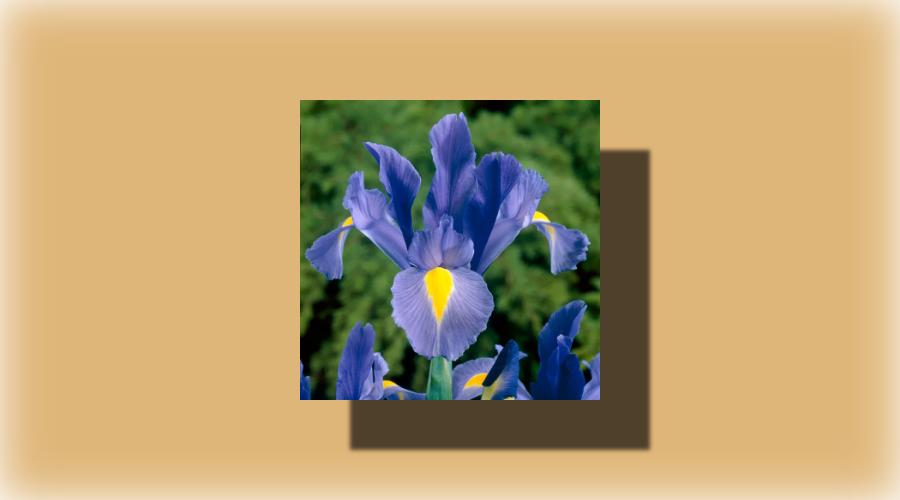 Nedir Bu Iris Çiçek Muhabbeti?